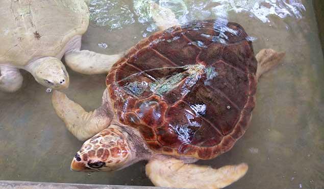 Turtle in Sri Lanka